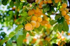 Оранжевый пук сливы зрелых плодоовощей Стоковое фото RF
