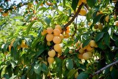 Оранжевый пук сливы зрелых плодоовощей Стоковые Фото
