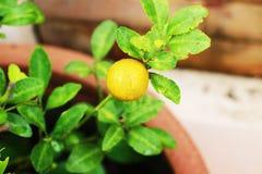 Оранжевый плодоовощ имеет оранжевое влияние на дереве в саде Стоковая Фотография