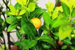 Оранжевый плодоовощ имеет оранжевое влияние на дереве в саде Стоковая Фотография RF