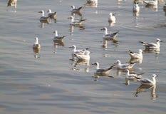 Оранжевый рот и черный кабель от группы в составе плавать фокуса белой предпосылки чайки мягкий Стоковая Фотография
