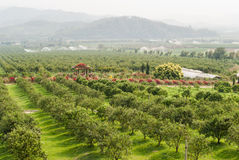 Оранжевый сад в Чиангмае, Таиланде. Стоковое Фото