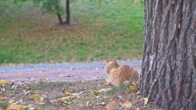 Оранжевый случайный кот сидя и ослабляя около большого старого дерева в парке города Одессы в Украине на день лета солнечный акции видеоматериалы