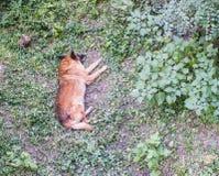 Оранжевый сон собаки в дворе травы Стоковая Фотография RF
