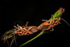 Оранжевый сопрягать Stinkbugs Стоковые Изображения RF