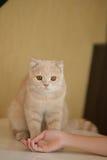 Оранжевый тигр Striped кота играет главные роли Стоковая Фотография RF