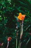 Оранжевый тропический цветок Стоковая Фотография RF