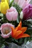 Оранжевый тюльпан Стоковое Изображение RF