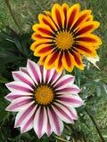 Оранжевый фиолетовый зацветать цветков Gazania Стоковые Фотографии RF