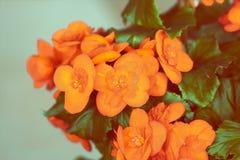 Оранжевый цветок бегонии стоковые фотографии rf