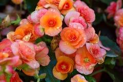 Оранжевый цветок бегонии Стоковое Изображение