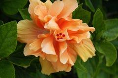 Оранжевый цветок Бермудские Острова гибискуса Стоковые Фото