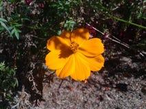 Оранжевый цветок вися на кусте стоковое фото