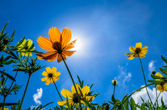 Оранжевый цветок в солнце Стоковое фото RF