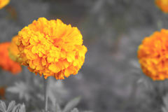 Оранжевый цветок в черно-белом стоковые изображения