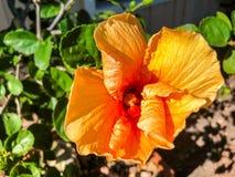 оранжевый цветок гибискуса и зеленые лист Стоковая Фотография