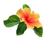 Оранжевый цветок гибискуса цвета при листья зеленого цвета изолированные на белой предпосылке, пути стоковые фотографии rf