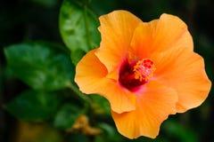 Оранжевый цветок гибискуса Стоковые Фото