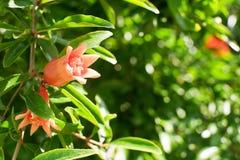 Оранжевый цветок гранатового дерева Стоковые Изображения RF