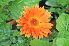 Оранжевый цветок зацветая, маргаритка gerbera Barberton стоковое фото rf