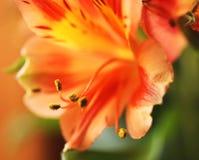 Оранжевый цветок и свои пыльники Стоковые Фото