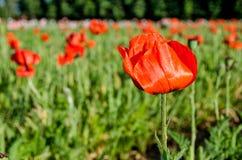 Оранжевый цветок мака в поле Стоковые Изображения