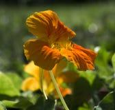 Оранжевый цветок настурции в Солнце Стоковые Фотографии RF