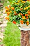 Оранжевый цветок на баке с зеленой предпосылкой стоковые фото