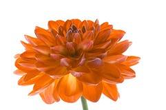 Оранжевый цветок на белой изолированной предпосылке Оранжевый конец-вверх георгина стоковое изображение