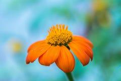 Оранжевый цветок на голубой и зеленой предпосылке Стоковые Фотографии RF