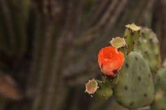 Оранжевый цветок на кактусе шиповатой груши, Opuntia, цветенях Стоковое Фото