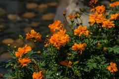 Оранжевый цветок на солнечный день Стоковые Фотографии RF