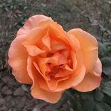 Оранжевый цветок Розы цвета Стоковая Фотография RF