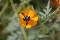 Оранжевый цветок с пчелой Стоковые Изображения RF