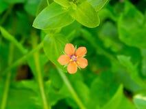 Оранжевый цветок луга Стоковое Изображение RF