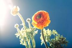 Оранжевый цветок лютика лютика, против света, задняя часть сини Стоковые Изображения