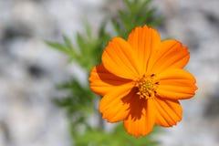 Оранжевый цветок Стоковая Фотография RF
