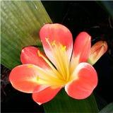 Оранжевый цветок Clivia Стоковое Изображение