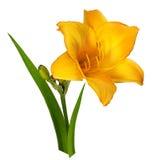 Оранжевый цветок Lilly на белизне стоковое изображение rf
