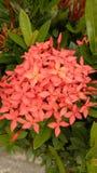 Оранжевый цветок Santan Стоковые Изображения