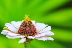 Оранжевый цветок zinnia стоковое фото