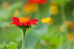 Оранжевый цветок zinnia Стоковое Изображение RF