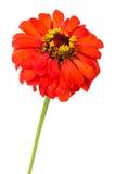 Оранжевый цветок zinnia Стоковые Изображения