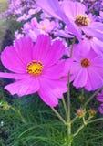 Оранжевый цветок zinnia Стоковая Фотография