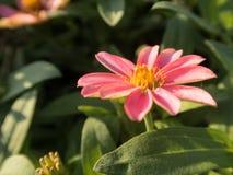 Оранжевый цветок zinnia Стоковое фото RF