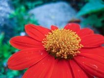 Оранжевый цветок zinnia Стоковые Фото