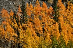 Оранжевый Aspen Стоковые Изображения RF