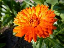 Оранжевый Calendula ноготк зацветая в саде Стоковое фото RF