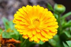 Оранжевый calendula Стоковое фото RF