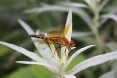 Оранжевый Dragonfly на белом заводе Стоковые Изображения RF
